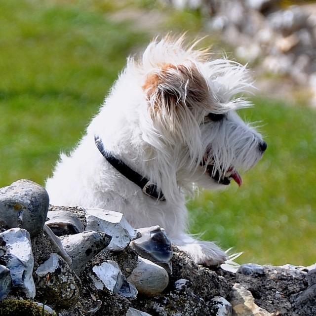 """Windblown Dog"" stock image"