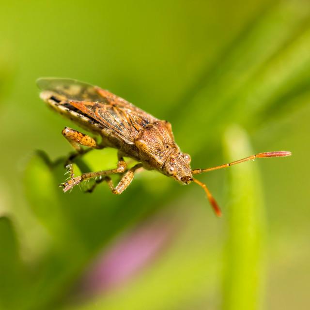 """Heteroptera"" stock image"