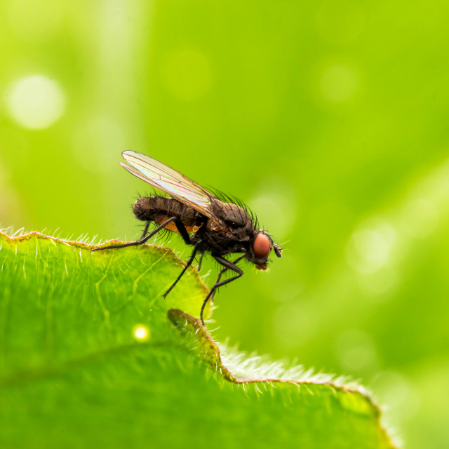 """""""Common Housefly (Fly)"""" stock image"""