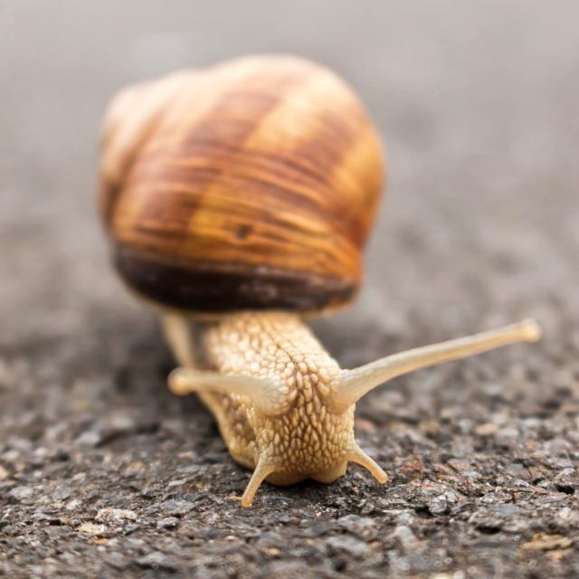 """Burgundy snail"" stock image"