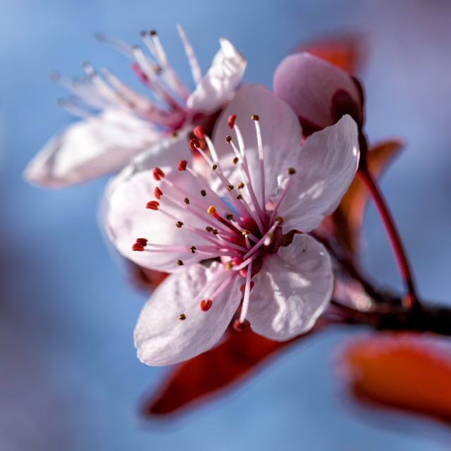 """Beautiful prunus flowers"" stock image"