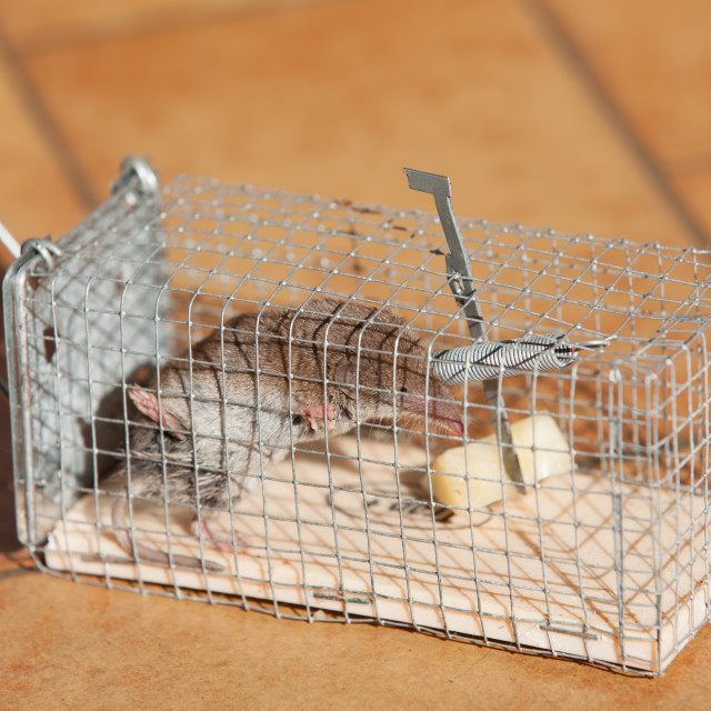 """""""trapped mouse"""" stock image"""