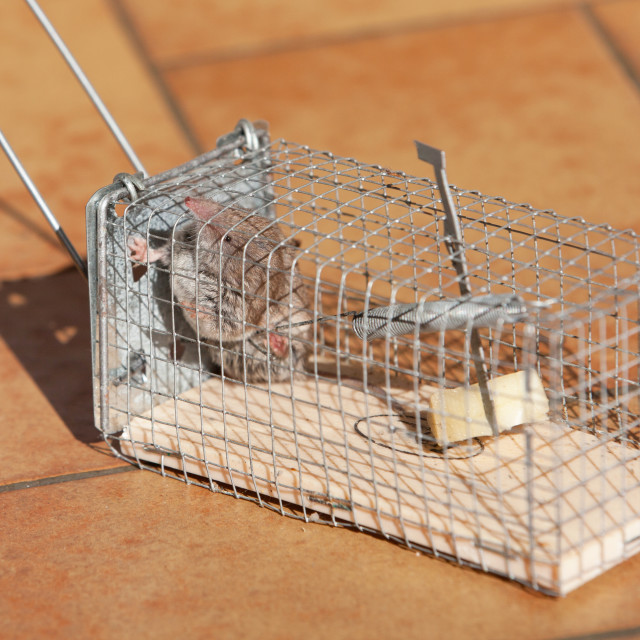 """trapped mouse"" stock image"
