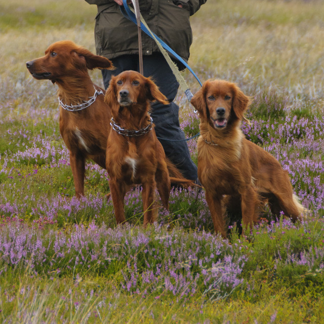 """Red Setter dogs"" stock image"