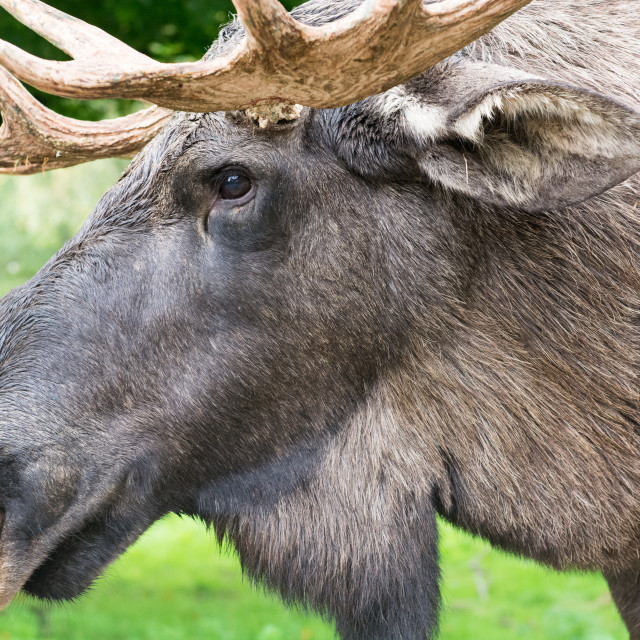 """""""Detail of the head a male moose, Alces alces"""" stock image"""