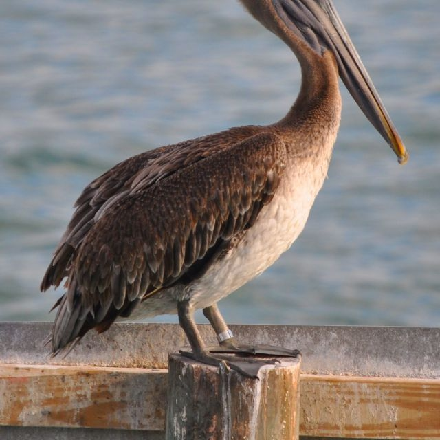 """Brown Pelican, Clearwater, FL"" stock image"