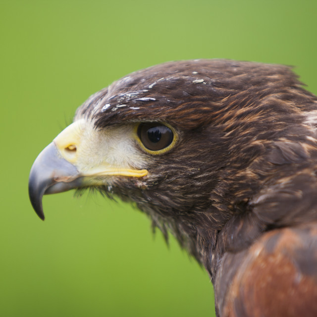 """Harris Hawk (Parabuteo Unicintus)"" stock image"