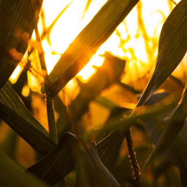 """Sunset through leaves"" stock image"