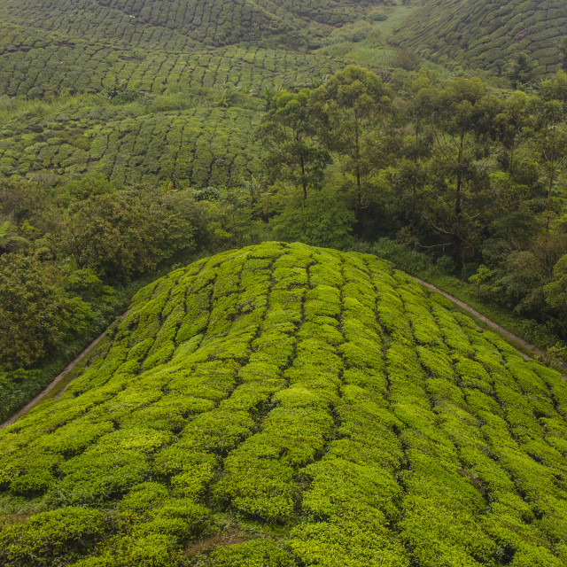 """Tea Field"" stock image"