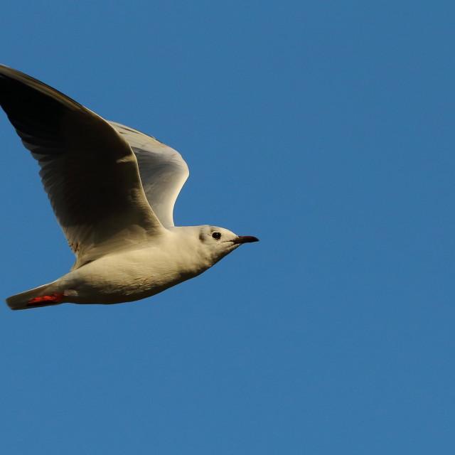 """Gull in flight"" stock image"