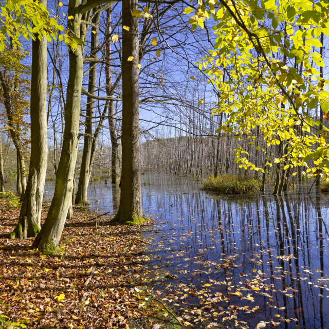 """""""Swamp in the Forest"""" stock image"""