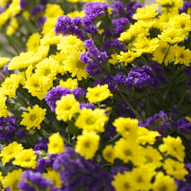 """bouquet of yellow and violet flowers"" stock image"