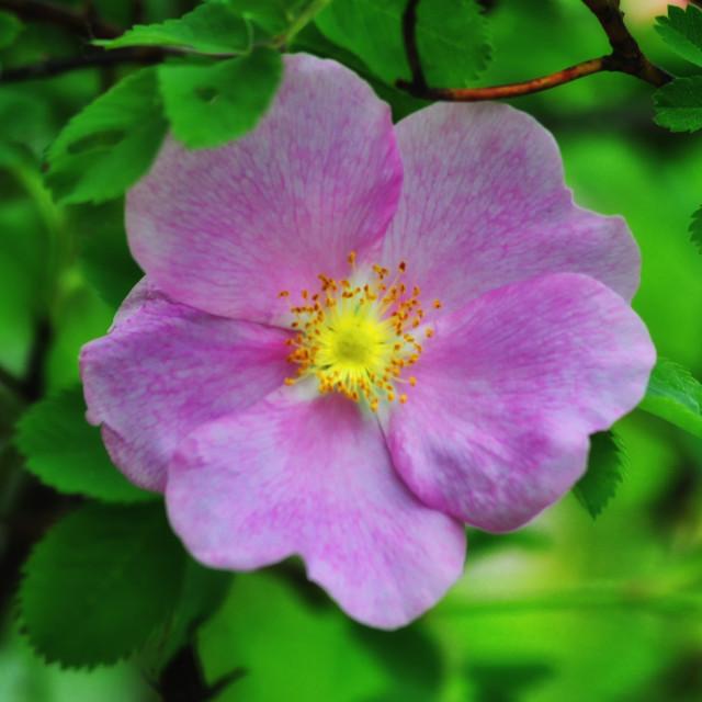 """Wild Rose"" stock image"