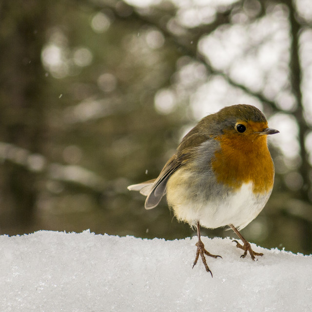"""Robin in Snow"" stock image"