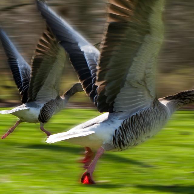 """""""Anser anser, Greylag Goose, starting to fly"""" stock image"""
