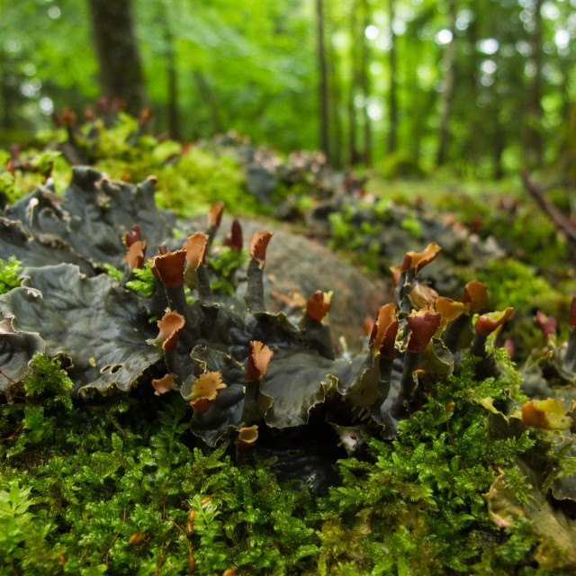 """Merchantiophyta - liverworts"" stock image"