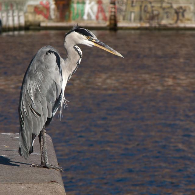 """""""Grey Heron, Ardea cinerea in Harbor"""" stock image"""
