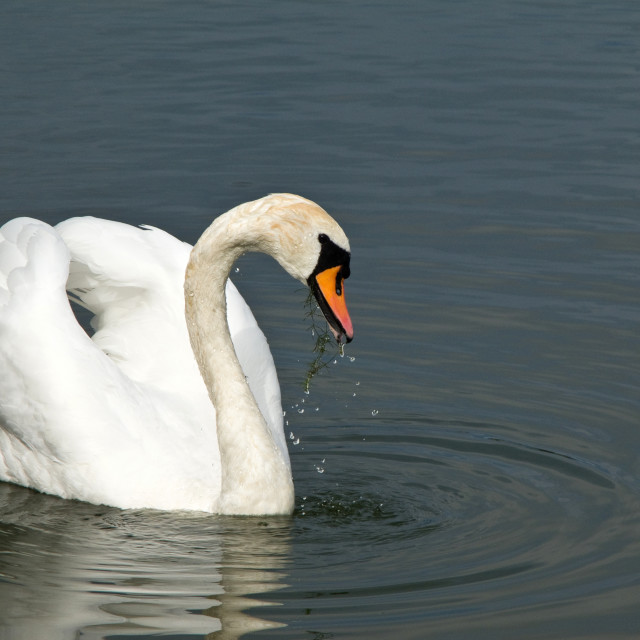 """Beautiful swan, Cygnus olor"" stock image"