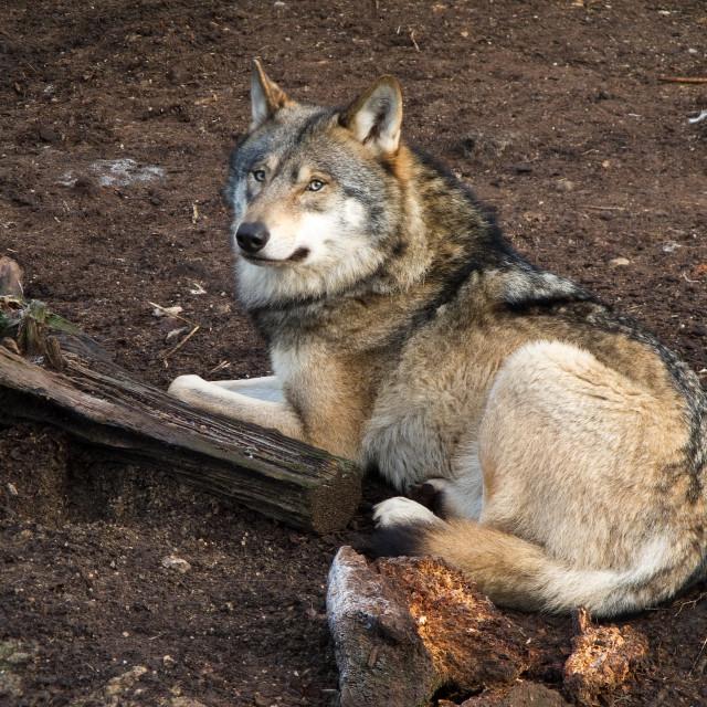 """Gray Wolf, Canis lupus"" stock image"