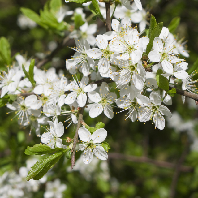 """Blackthorn blooming, Prunus spinosa"" stock image"