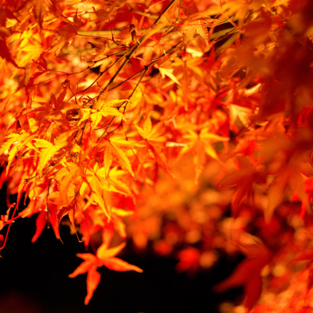"""Japanese maple in autumn"" stock image"