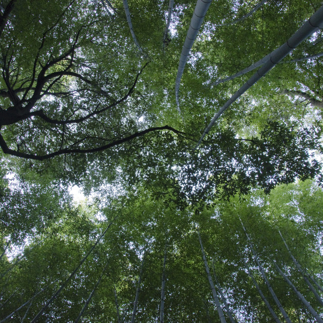 """Bamboo forest seen from below"" stock image"