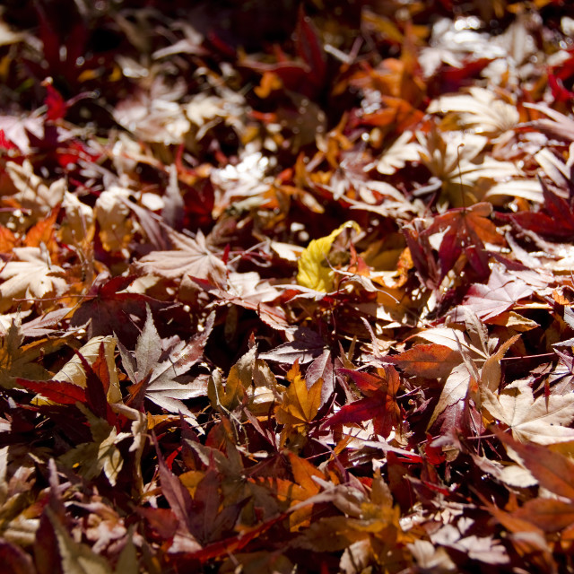 """""""Background of japanese maple leaves in autumn"""" stock image"""
