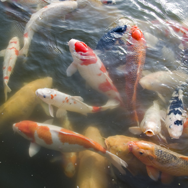 """Japanese koi swimming in water"" stock image"