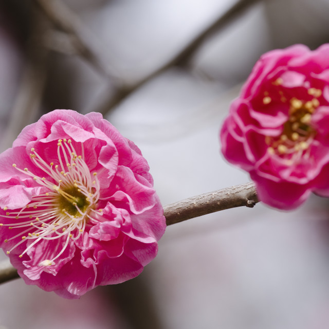 """Plum flowers"" stock image"