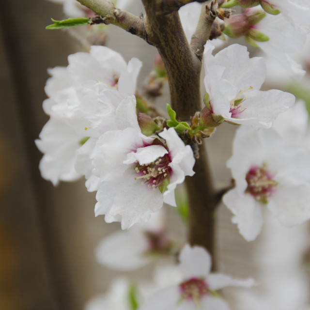 """Flowers of the Fuji Cherry, Prunus incisa"" stock image"