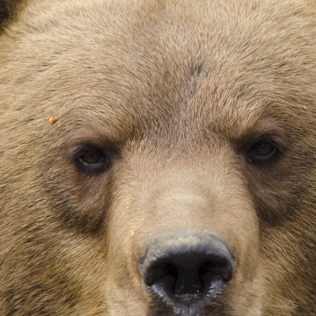 """""""Face of a brown bear"""" stock image"""