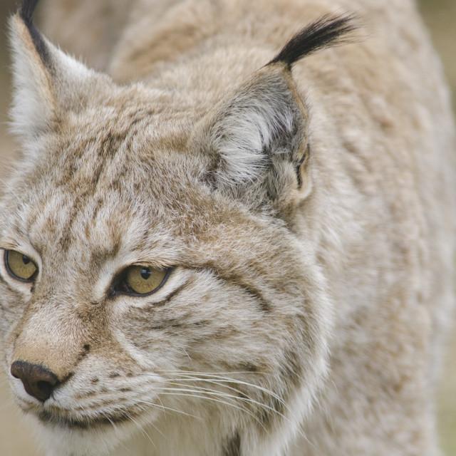 """Eurasian lynx, Lynx lynx"" stock image"