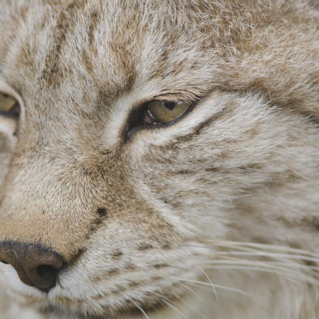 """Portrait of a Eurasian lynx, Lynx lynx"" stock image"
