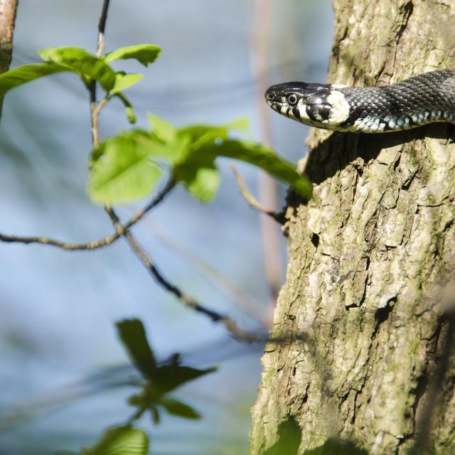 """Grass snake, Natrix Natrix"" stock image"