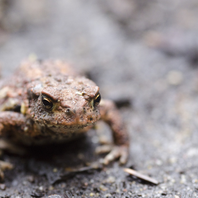 """Common toad, Bufo bufo"" stock image"