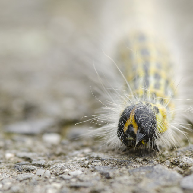 """Hairy yellow caterpillar"" stock image"