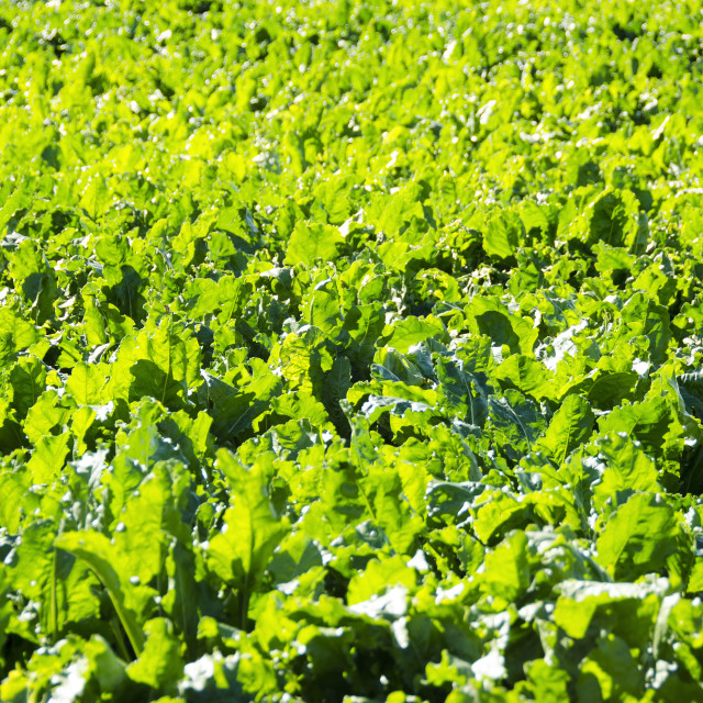 """A field of sugar beet plants"" stock image"