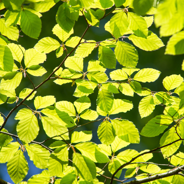 """""""Branch of beech tree with leaves"""" stock image"""