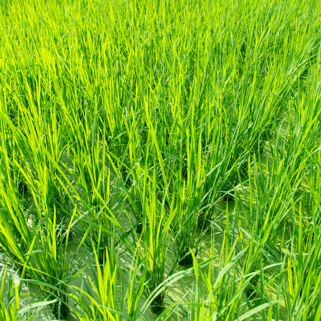 """Green rice field background"" stock image"
