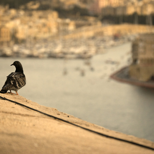 """pigeon. Views ancient city of Malta"" stock image"