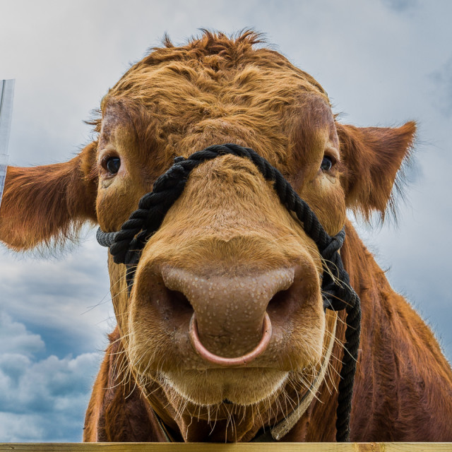 """""""Melancholy Bull"""" stock image"""