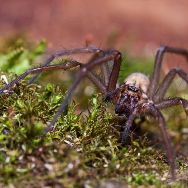 """Female Spider"" stock image"