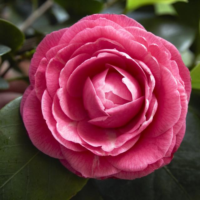 """dark pink camellia"" stock image"