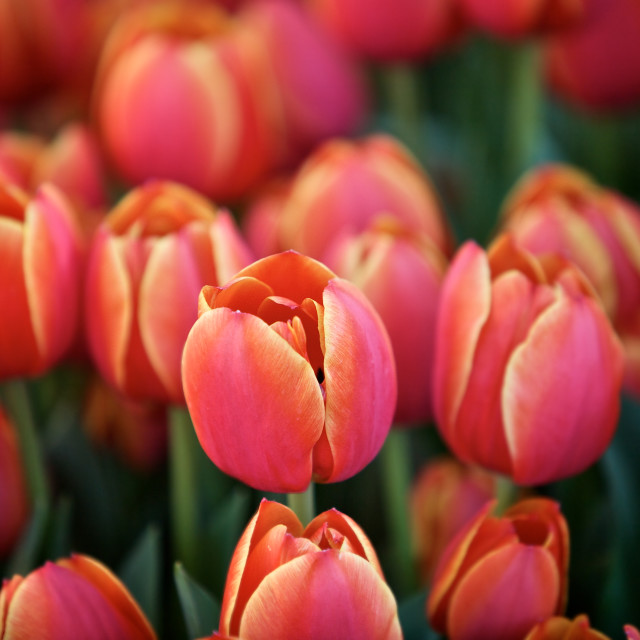 """Tulips in a Garden"" stock image"