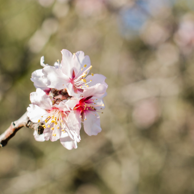 """Almond branch in bloom."" stock image"