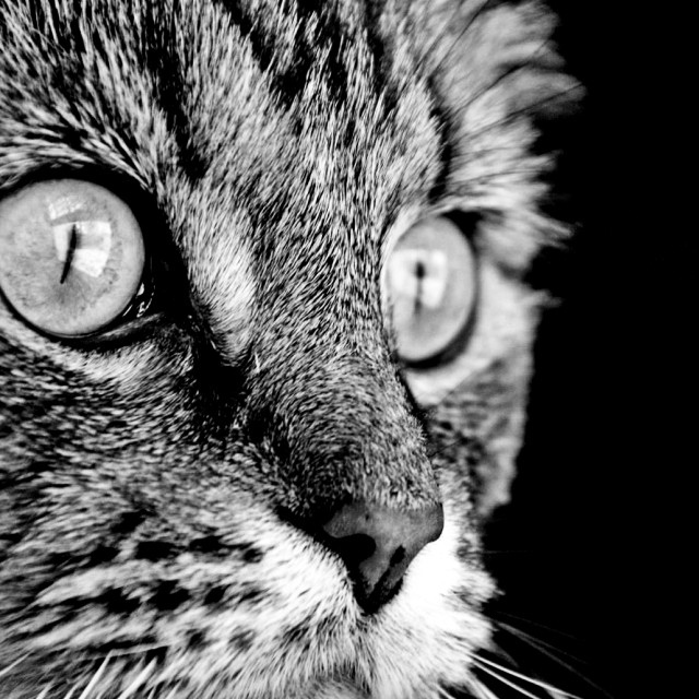 """""""Maine Coon Stare"""" stock image"""