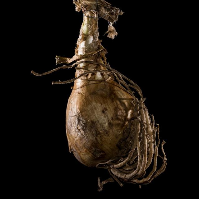 """Nerine Bulb"" stock image"