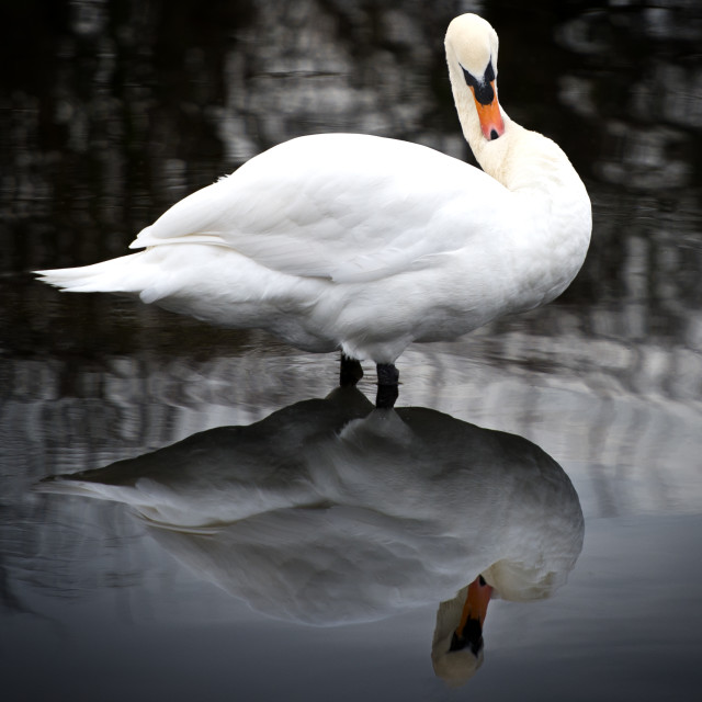 """Swan and reflection"" stock image"