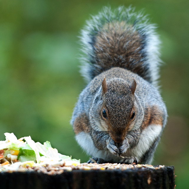"""Grey squirrel feeding"" stock image"