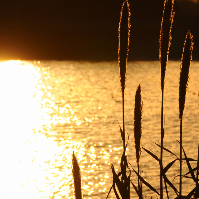 """""""Reeds with a strong backlight"""" stock image"""